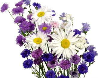 bouquet_of_daisies_on_white_background_1349072904